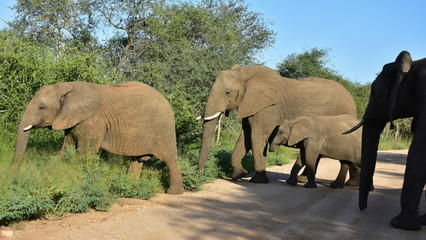 Elephants crossing gravel road in Kruger national park in South Africa