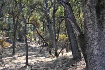 Dry woods near Hogan Lake,  California
