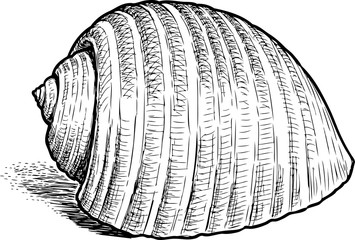 Hand drawing of a sea cockleshell