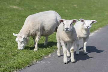 Sheep and two little lambs on an embankment slope.