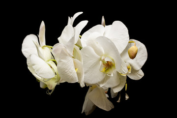 Flowers of white orchids on a black background
