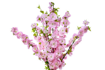 Bouquet of almond twigs with pink flowers.