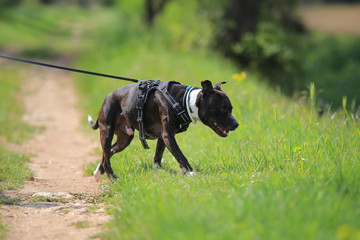 Staffordshire bull terrier in leash