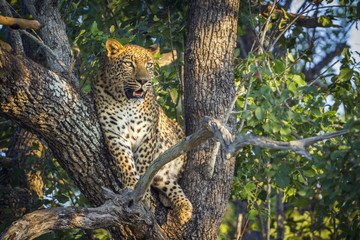 Leopard in Kruger National park, South Africa