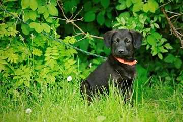 Portrait of cute adorable black puppy of mixed breed sitting in front of green bush watching something, orange collar, on leash, grass foregrand, bright colors