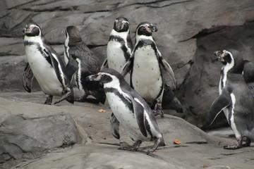 Penguins Gathering Herd