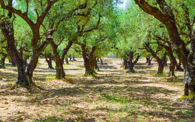 The olive grove.