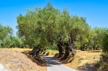 The old olive grove.