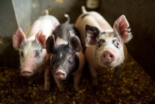 Three pigs looking at the camera