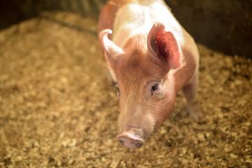 Single brown pig