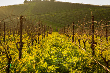 Vineyards by the Sunset