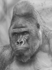 Black and white picture of Western lowland gorilla face