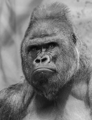 black and white Western lowland gorilla face