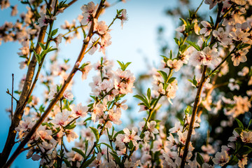 Peach Blossoms Blooming in Spring