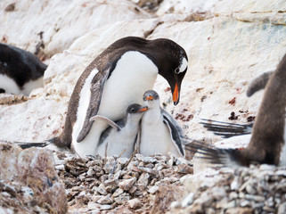 Gentoo penguin, Pygoscelis papua, mother with two chicks on Cuverville Island, Antarctic Peninsula, Antarctica