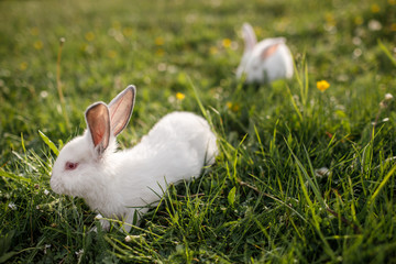 Baby white rabbit in spring green grass background