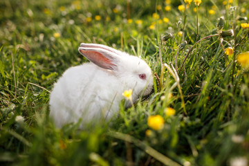white rabbit on a grass background