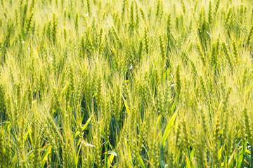 初夏の麦の穂