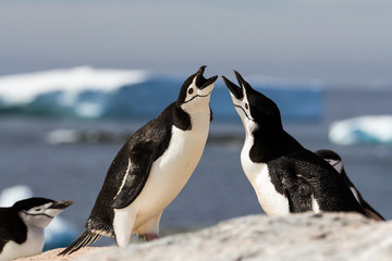 A pair of chinstrap penguins (Pygoscelis antarcticus) greeting each other with a mating display, Antarctica