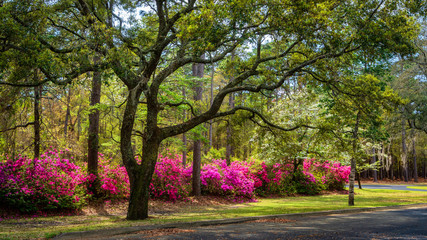 Wall Murals Azalea Spring blooming Azalea in South Carolina