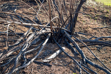 Burnt trees in the field after burning out the dry grass