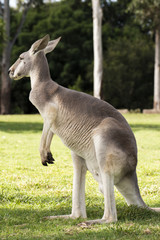 Kangaroo outside during the day time.
