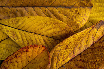 Autumn background of yellow leaves close up
