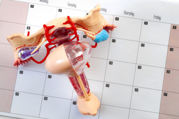 Woman or women wellness, pelvic exam and gynecological or ob-gyn appointment concept with a medical model of the female reproductive system on top of a calendar with copy space