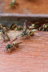 Common Large Paper Wasps in Brisbane, Australia