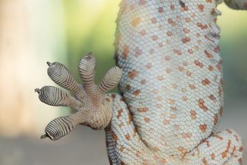 Close up Gecko leg, Fingers of Gecko on glass.