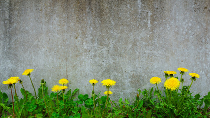 Dandelion plant growing at concrete wall - Survivor Environment Concept