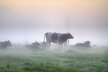 CATTLE IN PASTURE. Holstein Dairy cattle in a misty pasture on the banks of Umzimkulu River, Underberg, Kwazulu Natal.  Wall mural