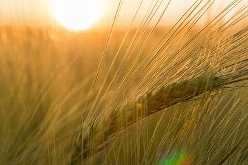 épi de blé et soleil