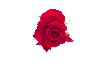 Red rose isolate on white background with clipping path