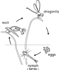 Coloring page. Life cycle of dragonfly