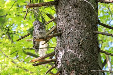 Allocco degli Urali nella foresta in Slovenia