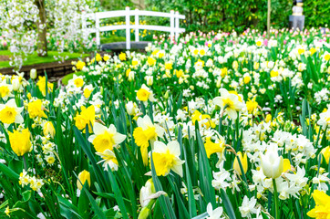 Flower bed with yellow and white daffodil flowers blooming in the Keukenhof spring garden from Lisse- Netherlands.;