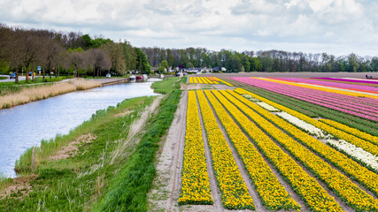 Colorful pink tulips fields during springtime in the Netherlands