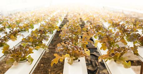 green oak in hydroponic plantation