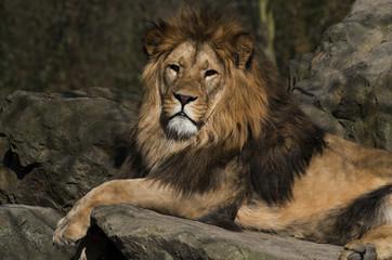 lion resting on rocks