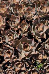 Aeonium valverdense. Timijiraque Protected Landscape. Valverde. El Hierro. Canary Islands. Spain.