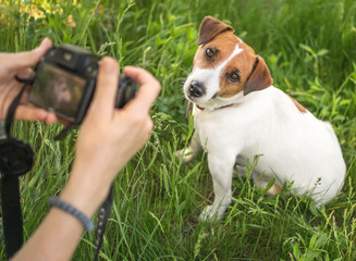 Young woman photographer taking a photo of sitting small dog jack russel terrier outside in green summer park in grass at sunny day. Female hands holding a camera