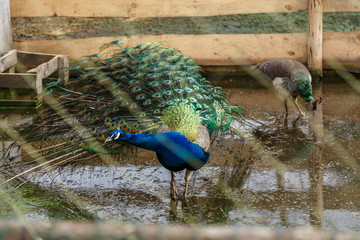 Peacock in an enclosure