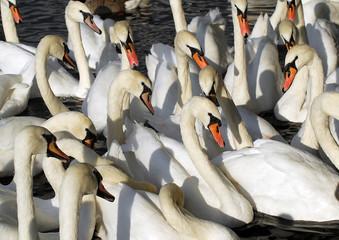 Flock of swans