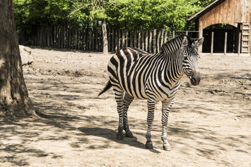 Zebras are several species of African equids (horse family) united by their distinctive black and white striped coats. Their stripes come in different patterns, unique to each individual.