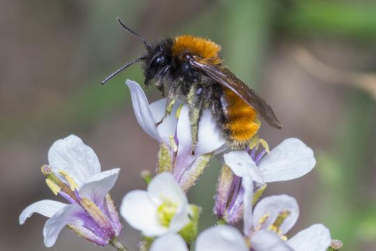 Female Tawny Mining Bee - Andrena fulva