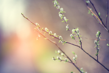 blossoming willow, sunny, tinted