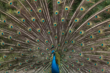 Male peacock showing its plumage to nearby females