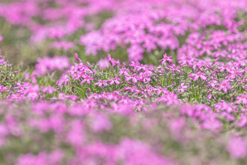 Pink Phlox on the Spring Sunny Lawn. Beautiful Nature Flowers Holiday background.