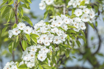 Close up of White Blossom Pear Tree Branch, during Spring Season on Green White Background